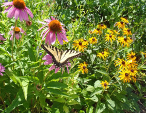 Coneflower and Black-Eyed Susan