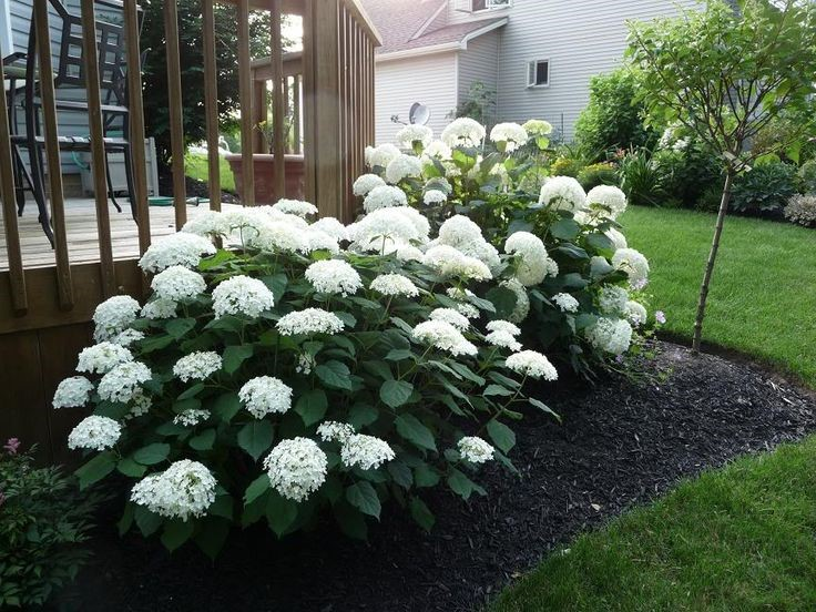 Hydrangeas To Prune Or Not To Prune And When Exactly