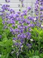 Baptisia (False or Wild Indigo)