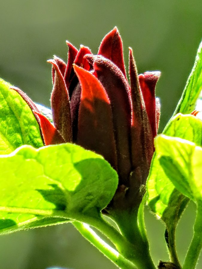 Carolina Allspice blooming