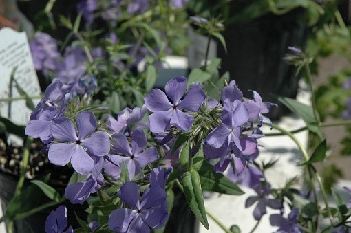 Phlox divaricate 'Blue Moon'