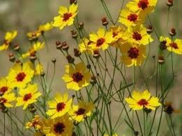Coreopsis (Tickseed)