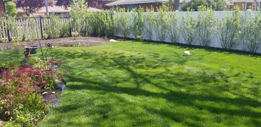 beautiful, lush green lawn after Greenwise installed a drainage system.