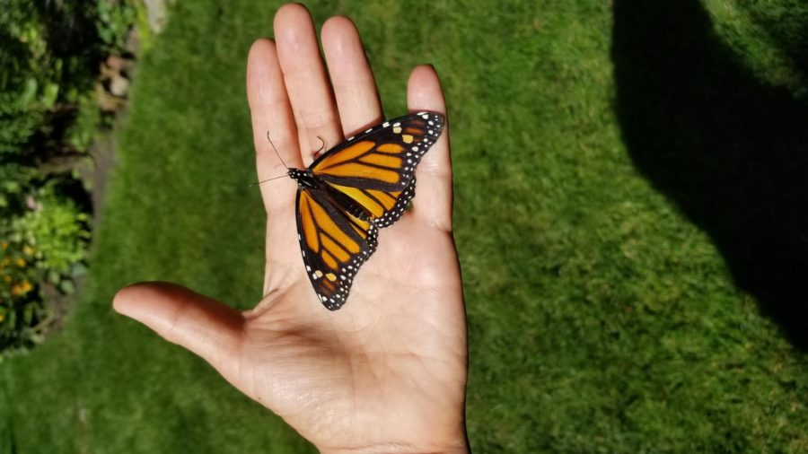 Monarch on hand