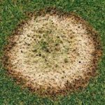 Close up of pink snow mold