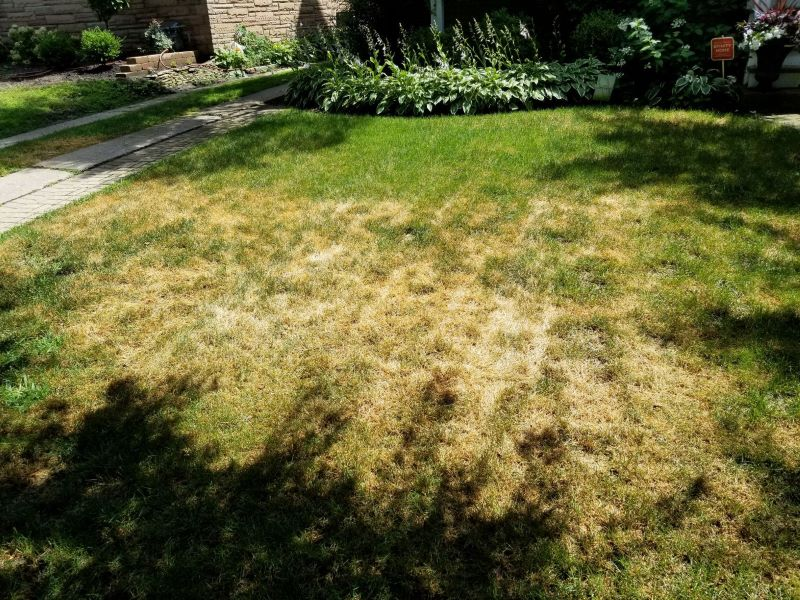 summer patch lawn fungus